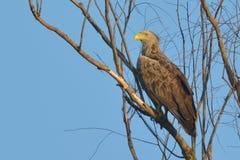 Weiß angebundener Adler auf einem Baum Lizenzfreies Stockbild