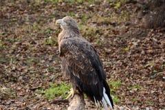 Weiß angebundener Adler auf einer Niederlassung Lizenzfreie Stockfotos