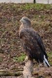 Weiß angebundener Adler auf einer Niederlassung Stockfoto