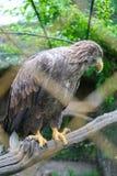Weiß angebundener Adler auf Niederlassung Stockbild