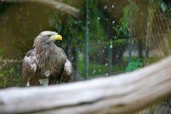 Weiß angebundener Adler auf Niederlassung im Zoo Lizenzfreie Stockfotografie