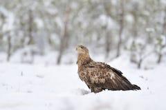 Weiß-angebundener Adler auf Schnee Lizenzfreies Stockfoto