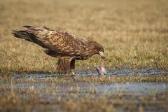 Weiß angebundener Adler, der einen frisch gefangenen Fisch isst Stockbild