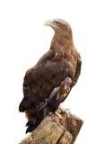 Weiß-angebundener Adler. Getrennt über Weiß Lizenzfreies Stockfoto