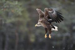 Weiß-angebundener Adler im Flug Lizenzfreie Stockfotos
