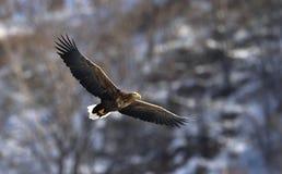 Weiß-angebundener Adler im Flug Dunkler Hintergrund Lizenzfreie Stockfotos