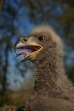 Weiß-angebundener Adler im Nest Lizenzfreies Stockbild