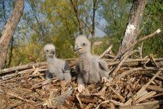 Weiß-angebundener Adler im Nest Lizenzfreie Stockbilder