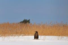 Weiß-angebundener Adler im Schnee Stockfoto