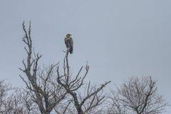 Weiß angebundener Adler im Winter Stockbild