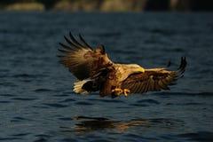 Weiß angebundener Adler mit Fliege Lizenzfreies Stockfoto