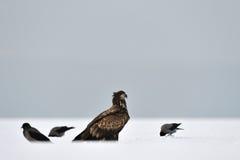 Weiß-Angebundener Adler mit Krähen Lizenzfreie Stockfotos