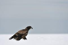 Weiß-angebundenes Adlerbewegen Lizenzfreies Stockbild