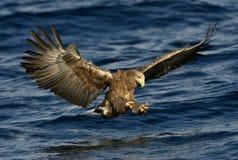 Weiß-angebundenes Adlerfischen Erwachsener Seeadler Sciencific-Name: Haliaeetus albicilla Lizenzfreies Stockfoto