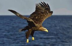 Weiß-angebundenes Adlerfischen Erwachsenes Seeadler Haliaeetus albicilla, alias das ERN, erne, grauer Adler, eurasisches Meer Lizenzfreie Stockbilder