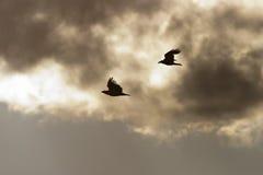 Weiß-angebundenes Adlerflugwesen Stockfoto