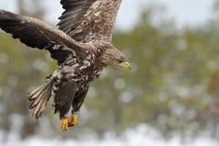Weiß angebundenes Adlerflugwesen Stockbild