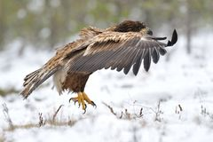 Weiß-angebundenes Adlerflugwesen Lizenzfreies Stockfoto