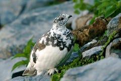 Weiß-angebundenes Alpenschneehuhn Lizenzfreies Stockfoto