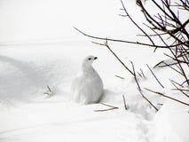 Weiß-angebundenes Alpenschneehuhn Lizenzfreie Stockfotos