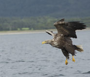 Weiß angebundenes Eagle lizenzfreies stockbild