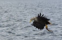 Weiß angebundenes Eagle lizenzfreie stockbilder