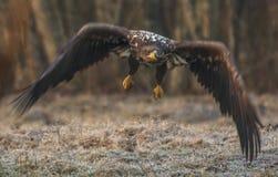 Weiß angebundenes Eagle Stockbild