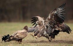 Weiß angebundenes Eagle Stockbilder