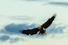 Weiß angebundenes Eagle-Fliegen mit Flügelverbreitung Stockfoto