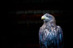 Weiß angebundenes Eagle gegen schwarzen Hintergrund Lizenzfreie Stockfotos