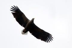 Weiß angebundenes Eagle getrennt auf Weiß Stockfotos