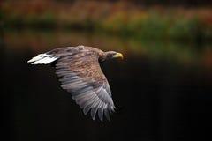 Weiß-angebundenes Eagle Haliaeetus-albicilla Eagle-Flug über dem Wassersee Raubvogel Adler mit Wald im Hintergrund Eagle I Lizenzfreie Stockfotografie