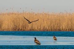 Weiß angebundenes Eagles auf Eis Lizenzfreie Stockbilder