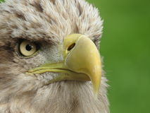 Weiß angebundenes Meer Eagle Stockfotografie