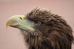 Weiß angebundenes Meer Eagle Lizenzfreies Stockbild