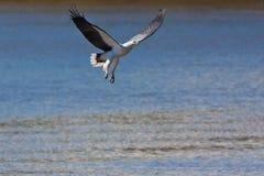 Weiß-aufgeblähter Meer-Adler Stockbilder