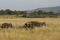 Weiß-Bärtiger Wildebeest II Lizenzfreies Stockbild