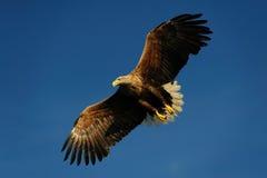Weiß band Adlerfliege auf dem blauen Himmel an Stockfoto