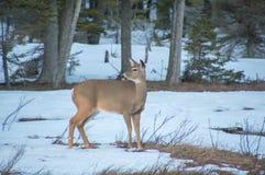 Weiß band Rotwild auf Wiese im Winter mit dem Schnee an und herum schaute stockbild
