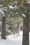 Weiß band Rotwild im Wald und Schnee im Winter an, der betrachtet stockfotografie