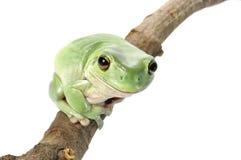 Weiß-Baum-Frosch stockfotos