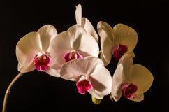 Weiß baute die Orchidee an, die auf schwarzem Hintergrund - perfekte Grußkarte lokalisiert wurde Lizenzfreie Stockfotos