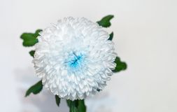 weiß-blaue Blumenchrysantheme Rose auf dem bokeh Hintergrund Weiß lokalisierter Hintergrund mit Beschneidungspfad nahaufnahme Kei stockbild