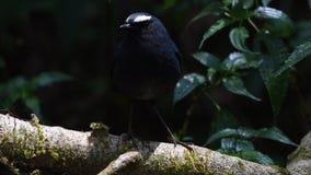 Weiß-browed männlicher Vogel Shortwing in Südostasien stock video footage