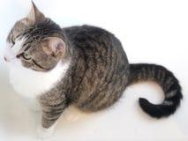 Weiß, Brown und schwarze gestreifte Cat Looking Up und Anstarren in den Abstand Stockbilder