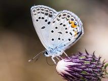 Weiß buterfly auf Blume lizenzfreie stockbilder
