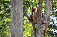 Weiß--cheeked Gibbon-Affe (Nomascus) Lizenzfreie Stockfotos