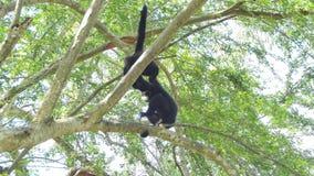 Weiß cheeked Gibbon auf Baum stock video