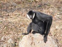 Weiß--cheeked Gibbon auf dem Felsen Stockbilder