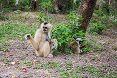 Weiß- Cheeked Gibbon und ihr Sohn Stockfoto